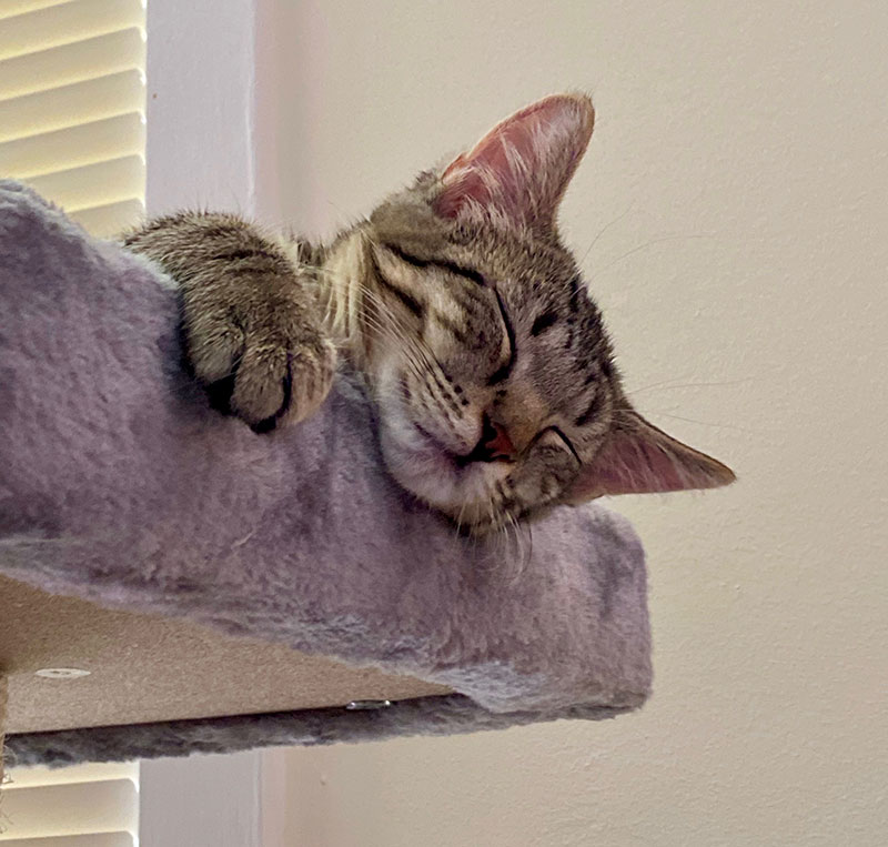 Baby the kitten hanging over perch